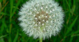 Loài hoa có tác dụng phòng chống ung thư