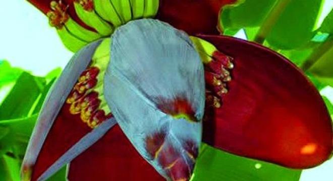 Hoa chuối chữa khỏi bệnh đau dạ dày