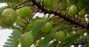 Bộ phận dùng làm thuốc là quả, lá, vỏ cây và rễ (Fructus, Folium, Cortex et Radix Phyllanthi Emblicae)